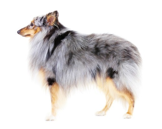 Side view of a healthy shetland sheepdog standing against a white background : Stock Photo