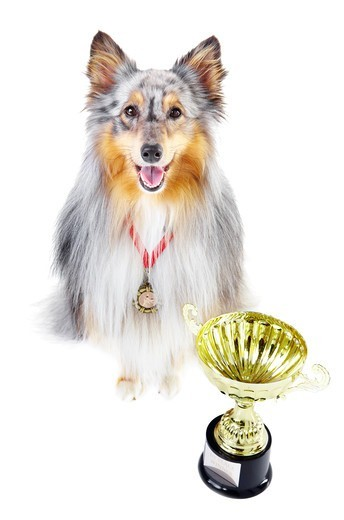 Champion shetland sheepdog wearing a gold medal and sitting alongside a trophy against a white background : Stock Photo