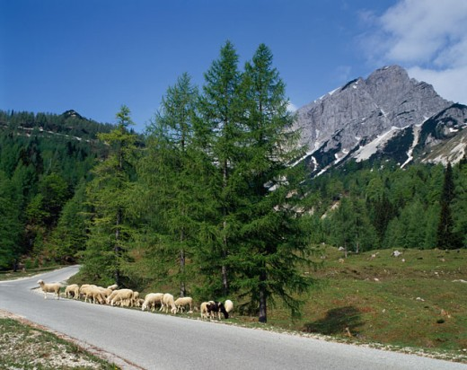 Herd of sheep grazing on a road side, Julian Alps, Slovenia : Stock Photo