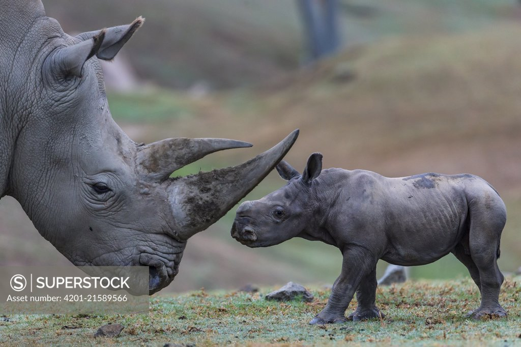 Stock Photo: 4201-21589566 White Rhinoceros (Ceratotherium simum) calf with mother, San Diego Zoo Safari Park, California
