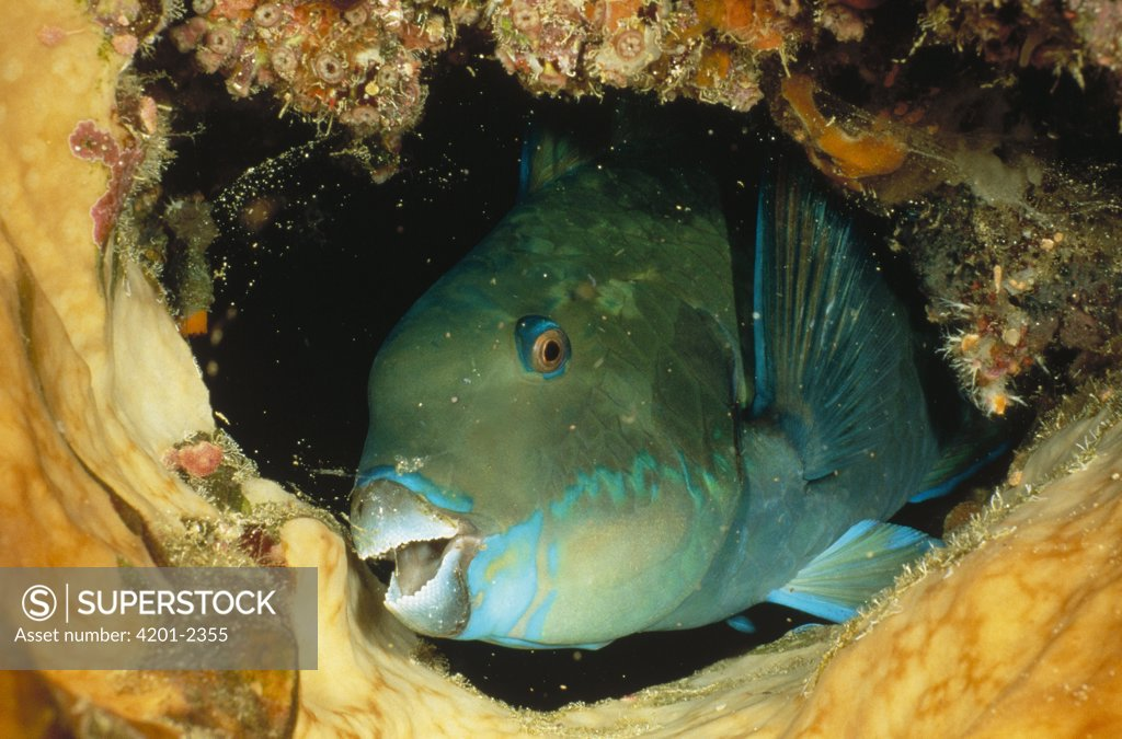 Stock Photo: 4201-2355 Steephead Parrotfish (Scarus microrhinos) portrait, Manado, North Sulawesi, Indonesia