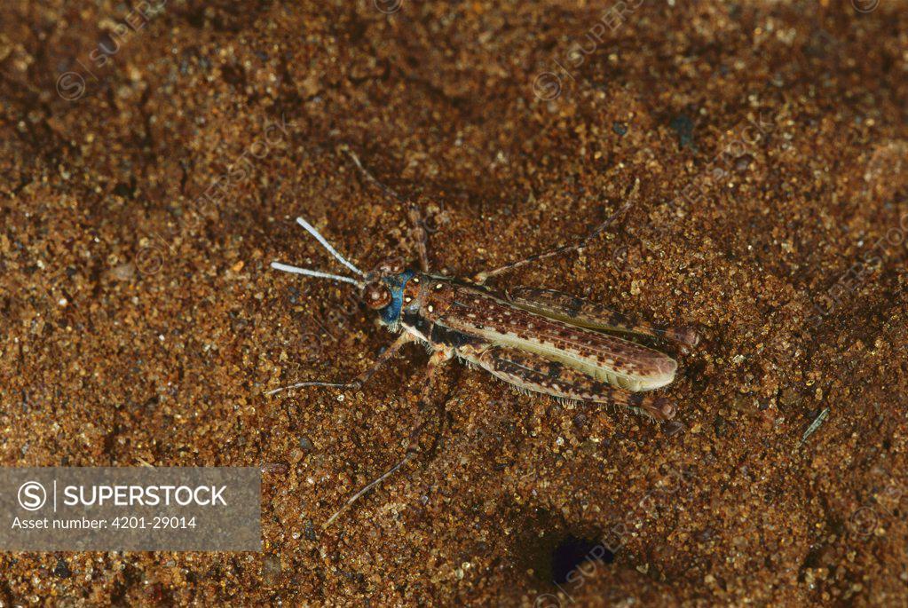 Stock Photo: 4201-29014 Grasshopper (Urnisiella) camouflaged against sand, Australia