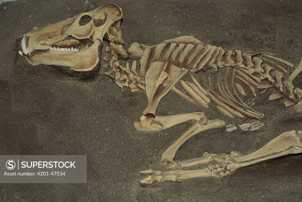 Stock Photo: 4201-47534 Flat-headed Peccary (Platygonus compressus) fossil, North America