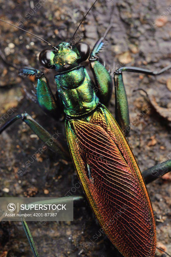Stock Photo: 4201-87387 Praying Mantis (Metallyticus splendidus), Maliau Basin, Sabah, Borneo, Malaysia