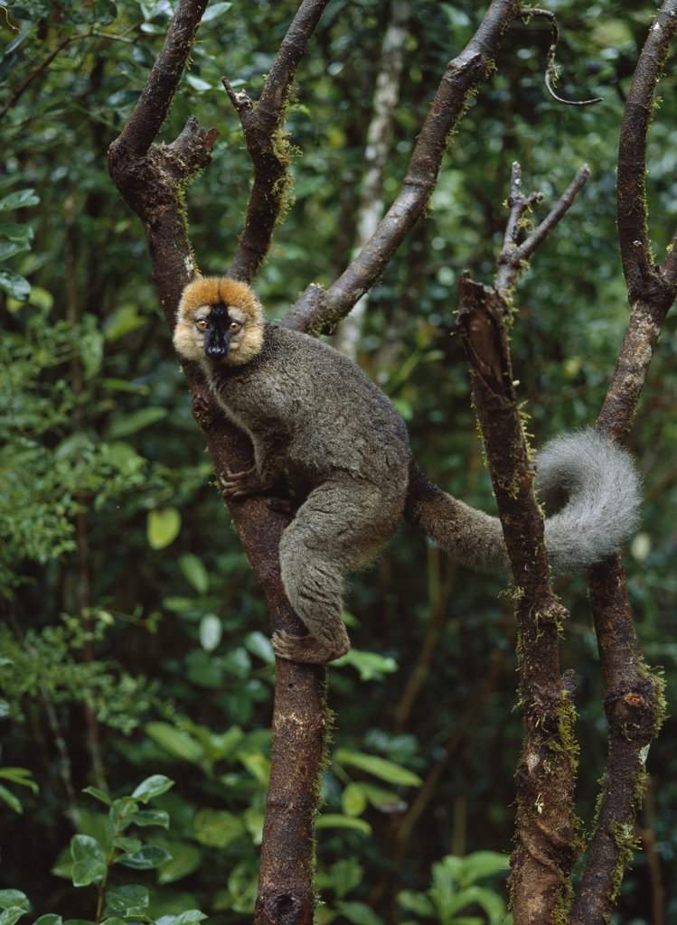 Stock Photo: 4201-10036 Red-fronted Brown Lemur (Eulemur fulvus rufus) male, Ranomafana National Park, Madagascar