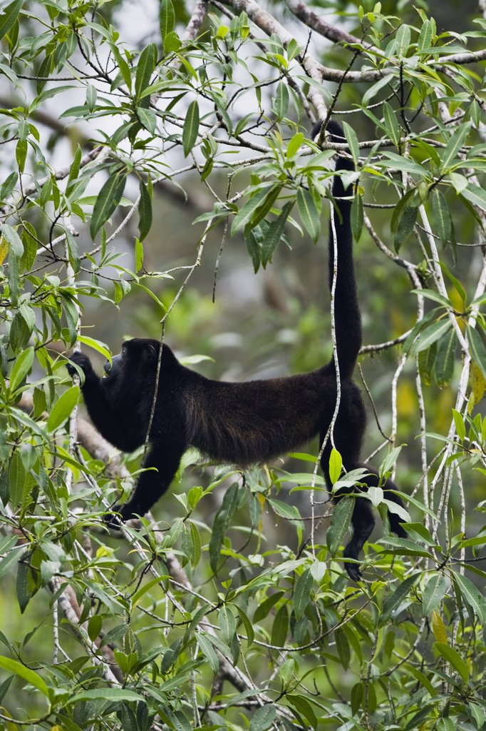 Mantled Howler Monkey (Alouatta palliata) in trees, Braulio Carrillo National Park, Costa Rica : Stock Photo
