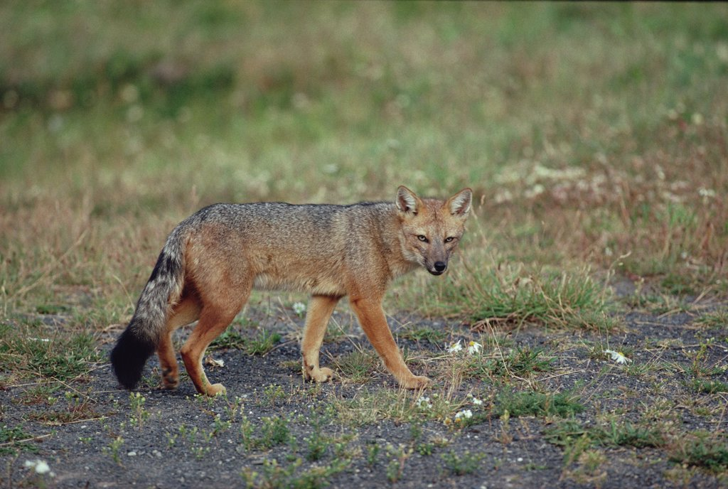 Stock Photo: 4201-10190 Andean Red Fox (Pseudalopex culpaeus), Torres del Paine National Park, Chile
