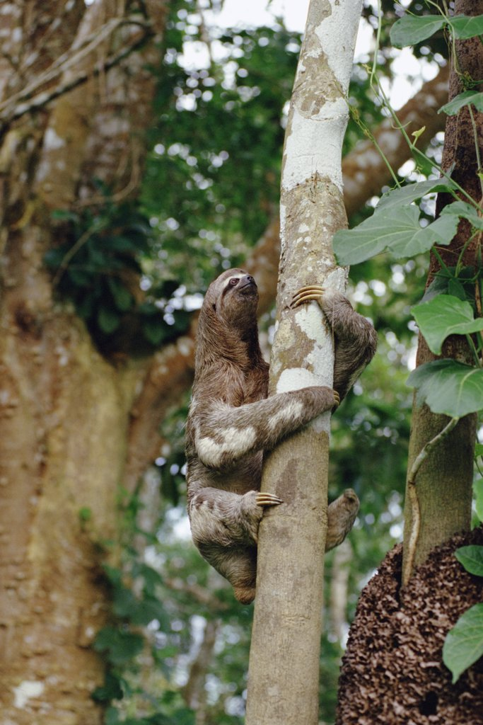 Pale-throated Three-toed Sloth (Bradypus tridactylus) in tree, native to the Amazon Basin to Central America : Stock Photo