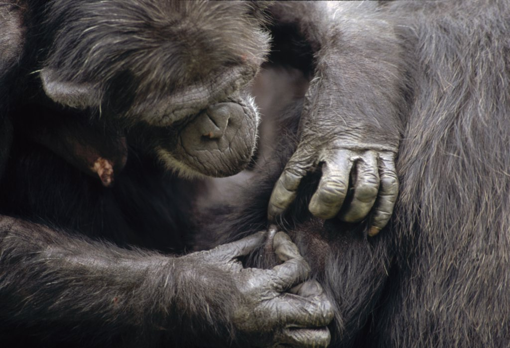 Chimpanzee (Pan troglodytes) group grooming, Gombe Stream National Park, Tanzania : Stock Photo