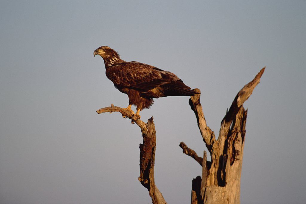 Bald Eagle (Haliaeetus leucocephalus) juvenile perching on snag, North Carolina : Stock Photo