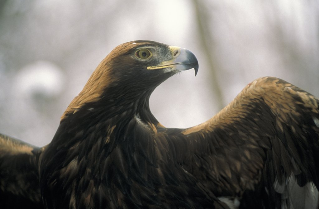 Golden Eagle (Aquila chrysaetos) portrait with wings spread, North America : Stock Photo