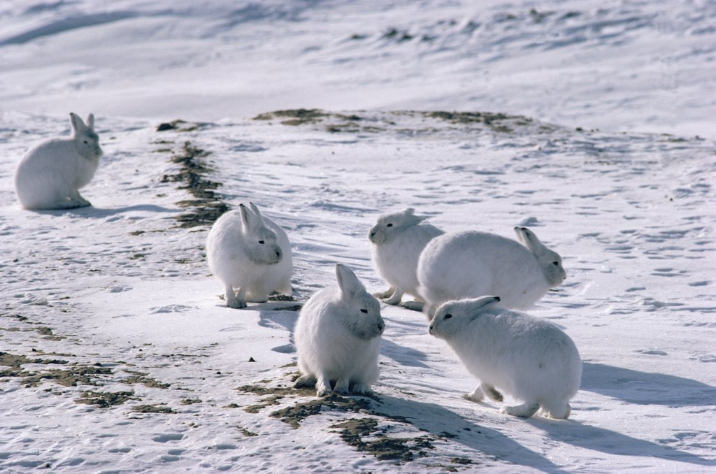 Arctic Hare (Lepus arcticus) group camouflaged on snow, Ellesmere Island, Nunavut, Canada : Stock Photo