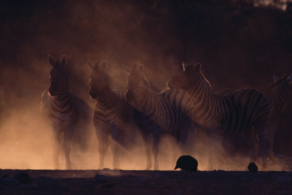 Mountain Zebra (Equus zebra) group standing in dust storm, Etosha National Park, Namibia : Stock Photo