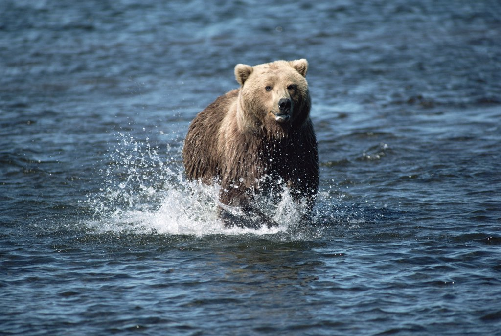 Stock Photo: 4201-11143 Grizzly Bear (Ursus arctos horribilis) running, Alaska