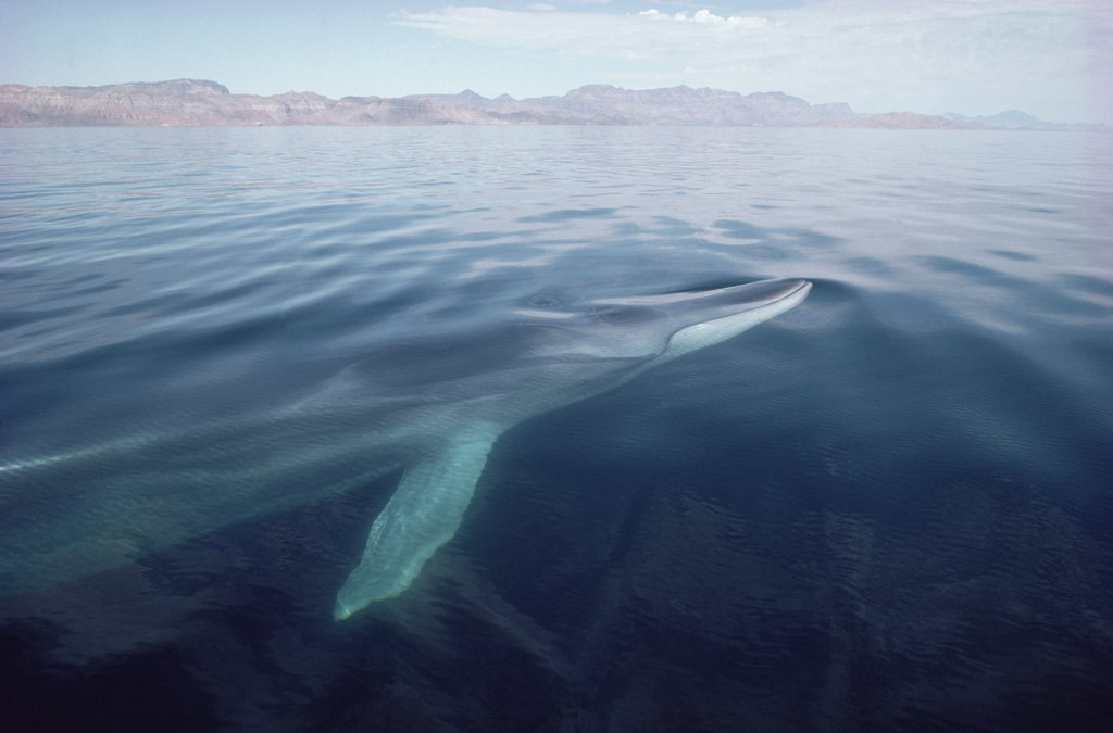 Stock Photo: 4201-11360 Fin Whale (Balaenoptera physalus) surfacing, Baja California, Mexico