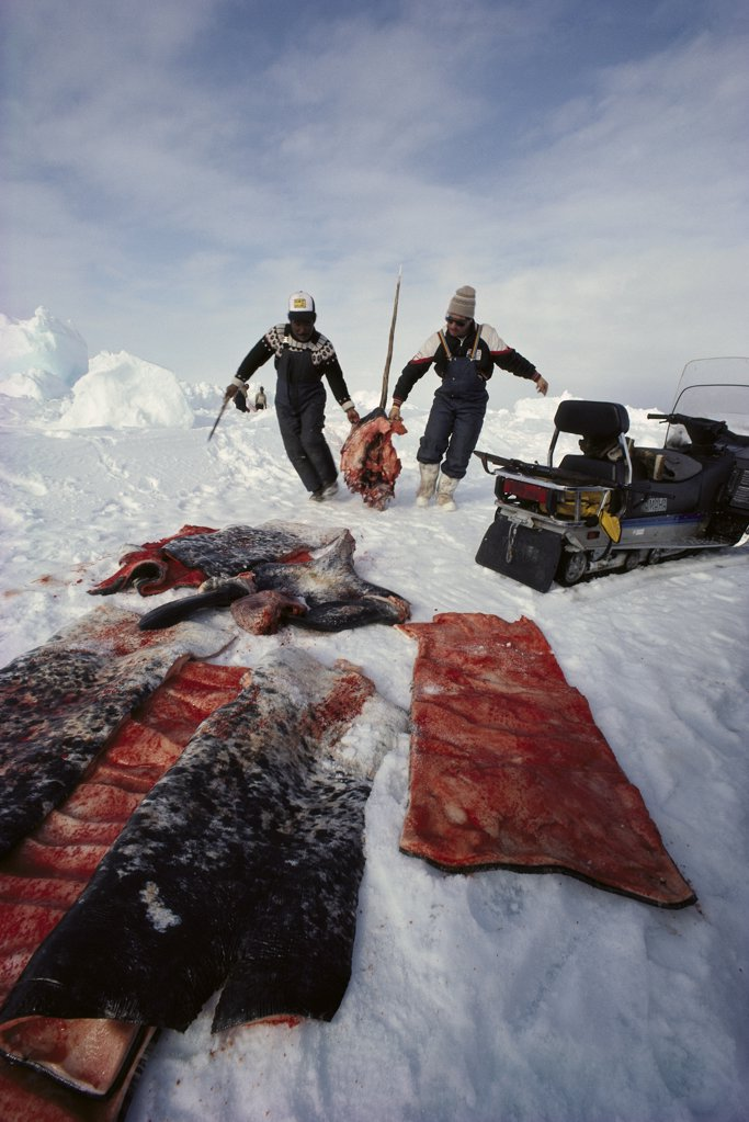 Narwhal (Monodon monoceros) meat hauled by Inuits, Baffin Island, Canada : Stock Photo
