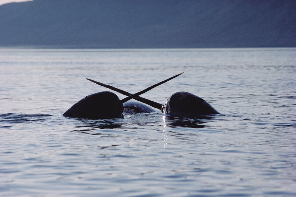 Narwhal (Monodon monoceros) males sparring, Baffin Island, Nunavut, Canada : Stock Photo