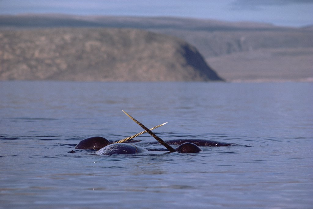 Narwhal (Monodon monoceros) fighting over carcass of dead female, Baffin Island, Canada : Stock Photo