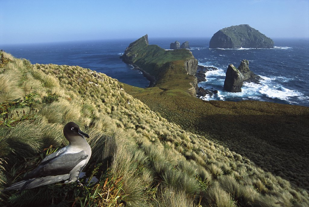 Light-mantled Albatross (Phoebetria palpebrata) on nesting bluffs overlooking weather-beaten south coast, Monument Harbour, Campbell Island, New Zealand : Stock Photo