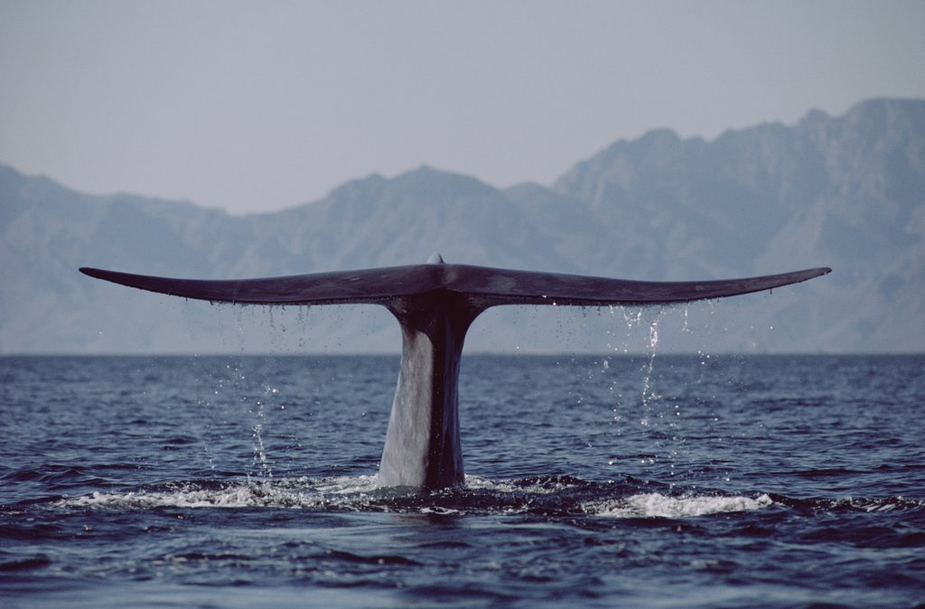 Stock Photo: 4201-11716 Blue Whale (Balaenoptera musculus) tail, Sea of Cortez, Mexico