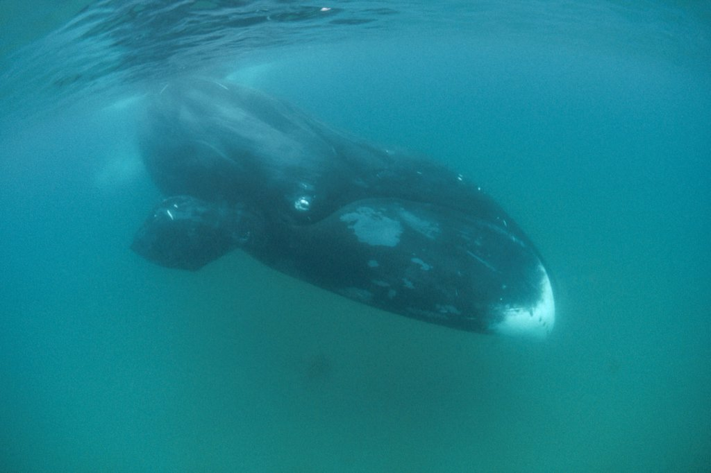 Stock Photo: 4201-11792 Bowhead Whale (Balaena mysticetus) diving underwater, Baffin Island, Canada