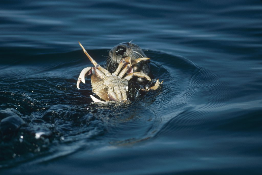 Stock Photo: 4201-11846 Sea Otter (Enhydra lutris) eating a crab, California