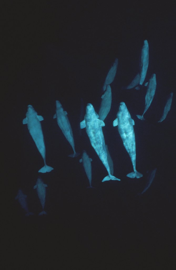 Stock Photo: 4201-11991 Beluga (Delphinapterus leucas) whale, group underwater, Baffin Island, Nunavut, Canada