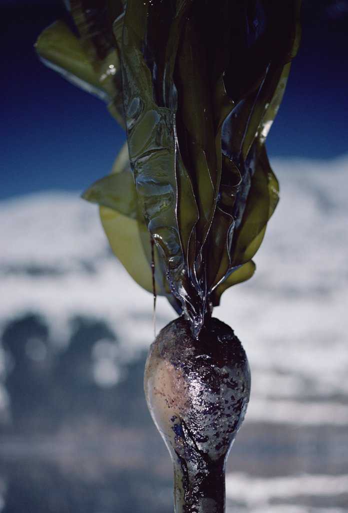 Close-up of oil-covered kelp, Exxon Valdez oil spill, Alaska : Stock Photo