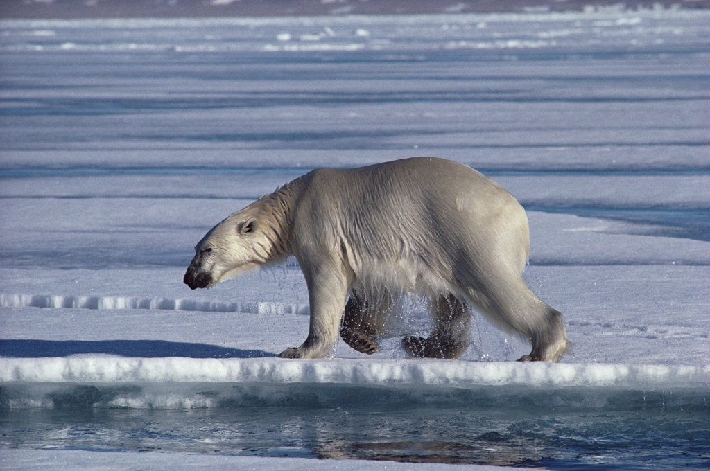 Polar Bear (Ursus maritimus) at water's edge, Baffin Island, Nunavut, Canada : Stock Photo