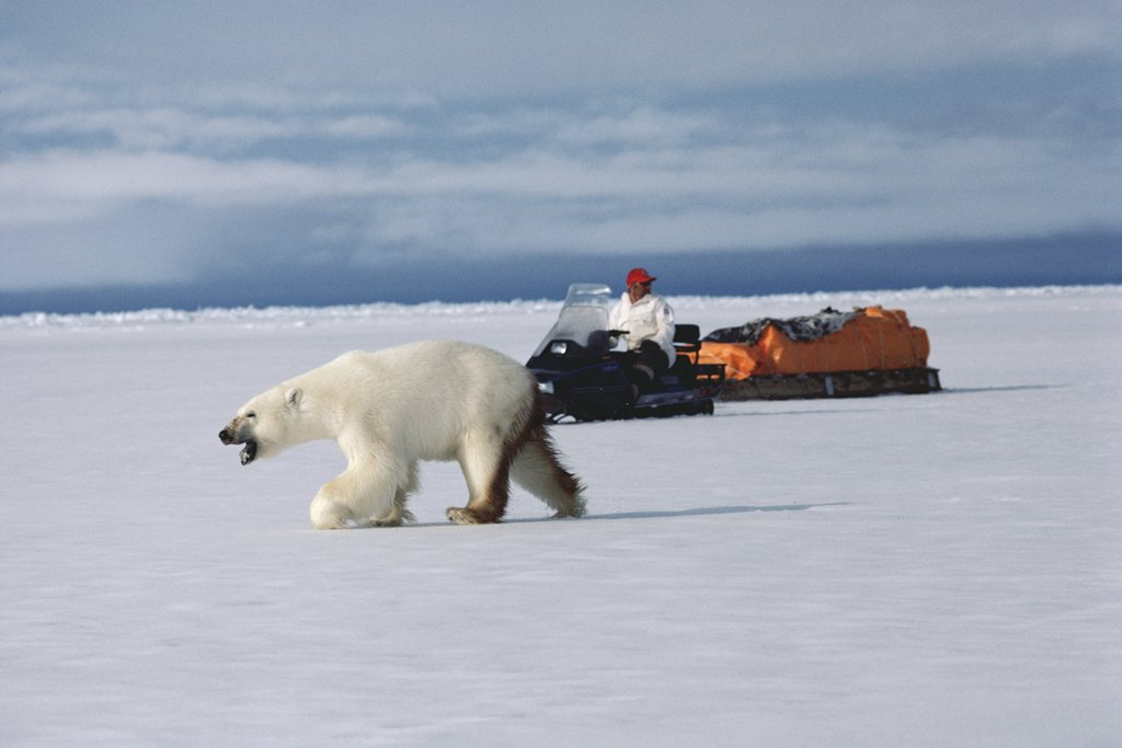 Stock Photo: 4201-12136 Polar Bear (Ursus maritimus) near man traveling by snowmobile, Baffin Island, Canada