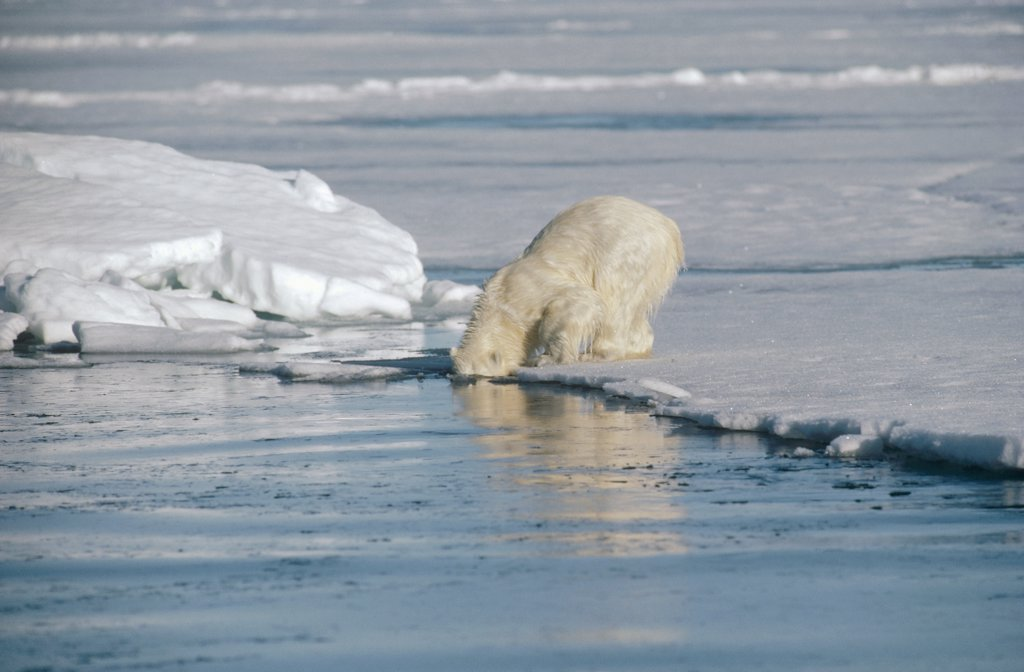 Polar Bear (Ursus maritimus) cub searching underwater for mother who is hunting, Baffin Island, Nunavut, Canada : Stock Photo
