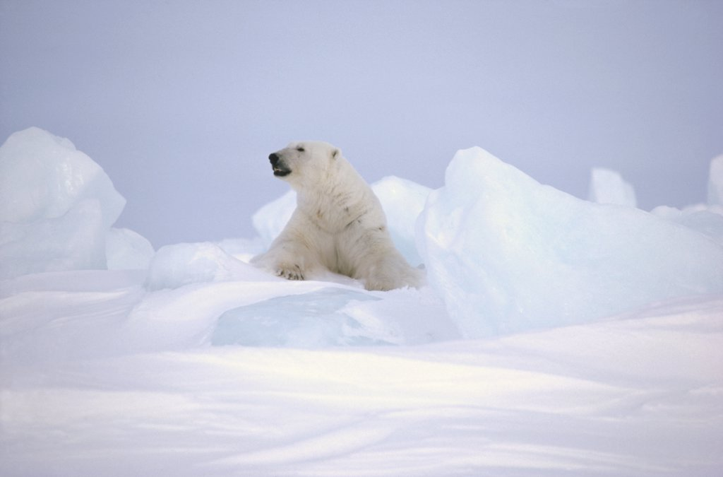 Stock Photo: 4201-12143 Polar Bear (Ursus maritimus) on icefield, Baffin Island, Nunavut, Canada
