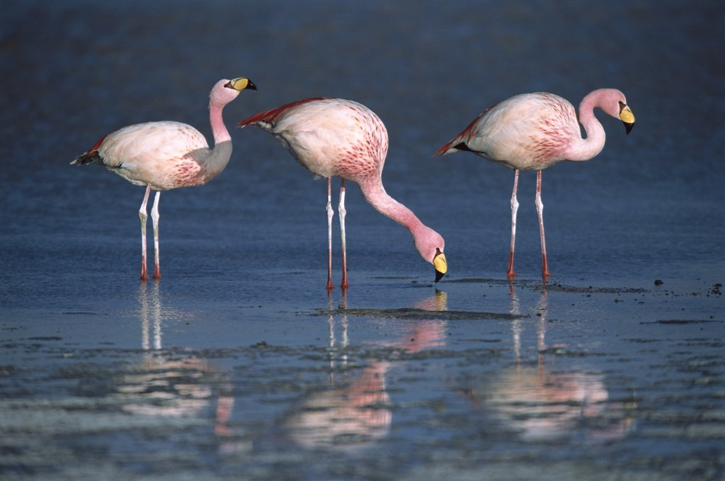 Stock Photo: 4201-1235 Puna Flamingo (Phoenicopterus jamesi) rare, three drinking from freshwater springs along lake edge, Laguna Colorada, Andean altiplano above 4,000 meters elevation, Bolivia