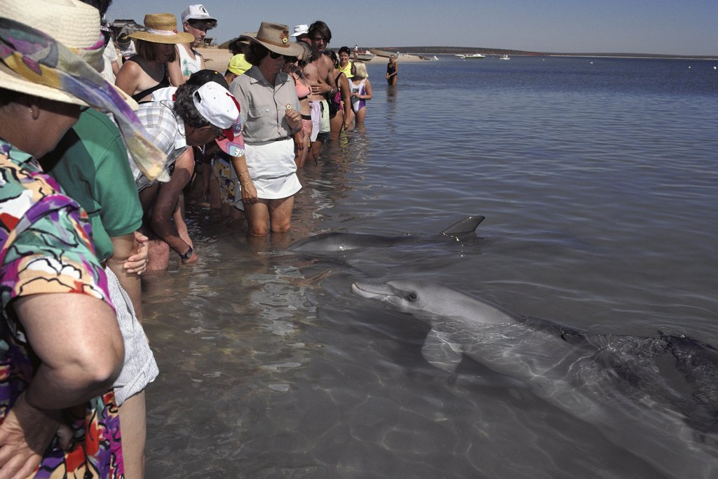 Bottlenose Dolphin (Tursiops truncatus) group with tourists in shallow water, Monkey Mia, Australia : Stock Photo