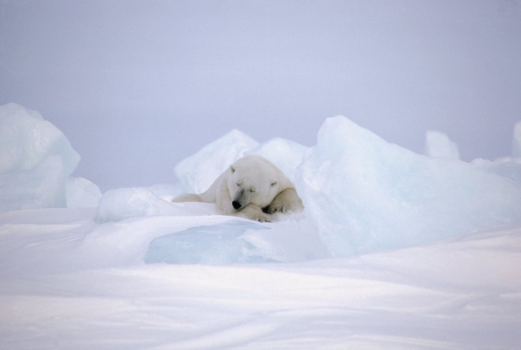 Stock Photo: 4201-12624 Polar Bear (Ursus maritimus) sleeping, Baffin Island, Nunavut, Canada