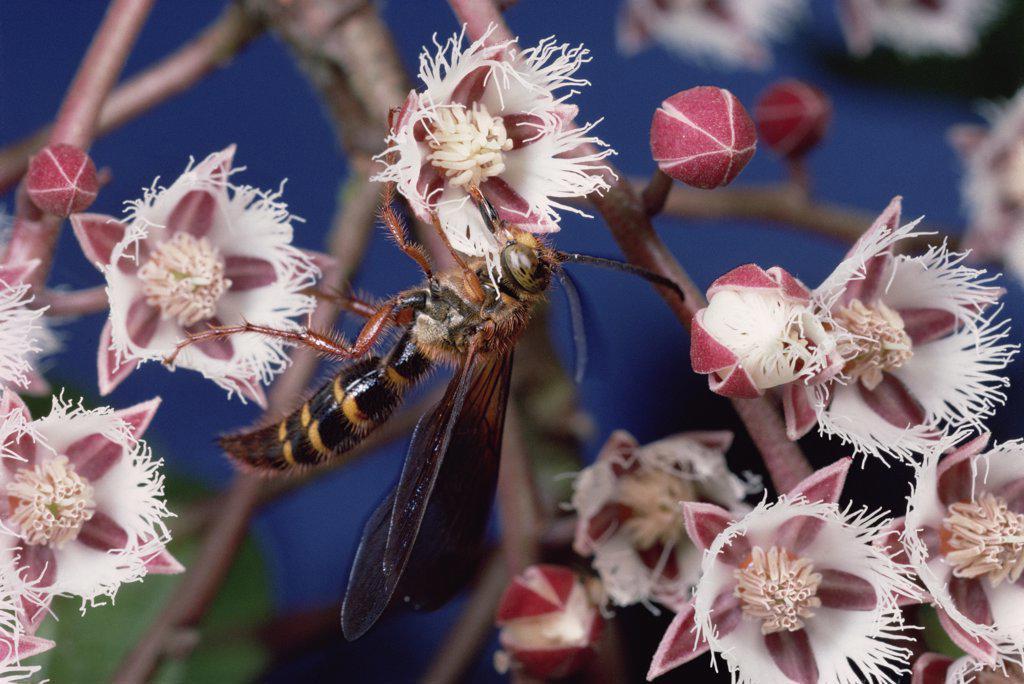 Rudraksha (Elaeocarpus ganitrus) wasp collecting nectar from Elaeocarpus tree flowers, Sinharaja Biosphere Reserve, Sri Lanka : Stock Photo