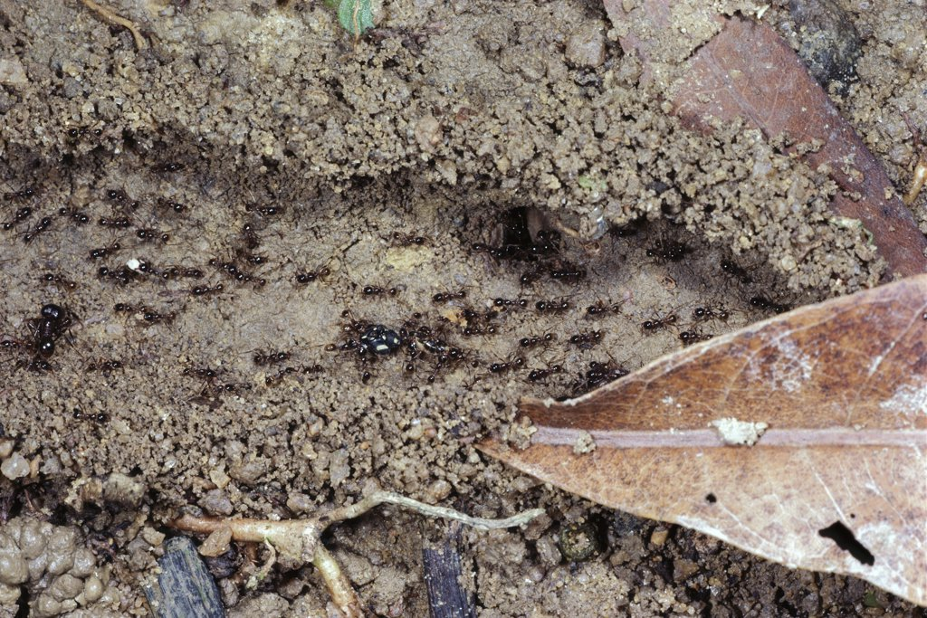 Stock Photo: 4201-12696 Marauder Ant (Pheidologeton diversus) trail with soil walls, Borneo