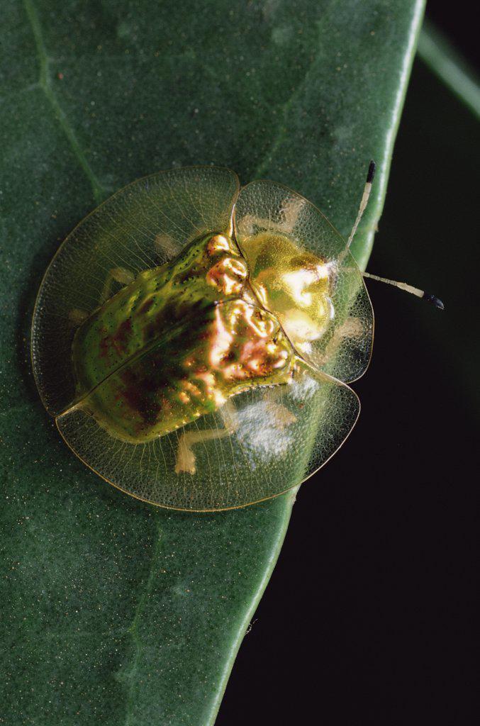 Golden Tortoise Beetle (Metriona bicolor), Sinharaja Biosphere Reserve, Sri Lanka : Stock Photo