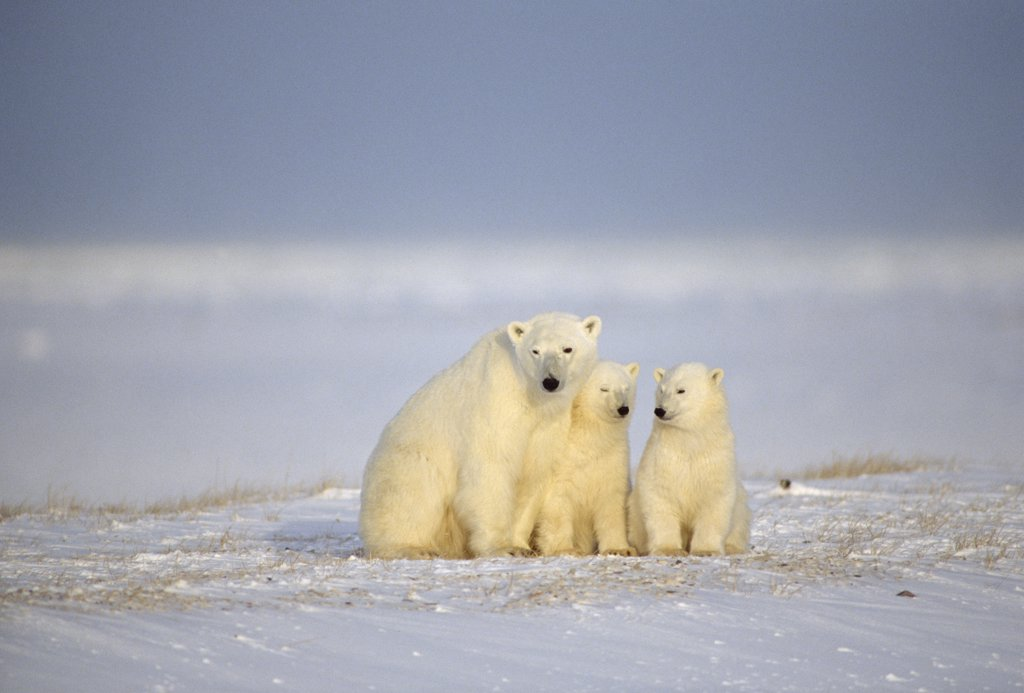 Polar Bear (Ursus maritimus) mother and two cubs, Churchill, Manitoba, Canada : Stock Photo
