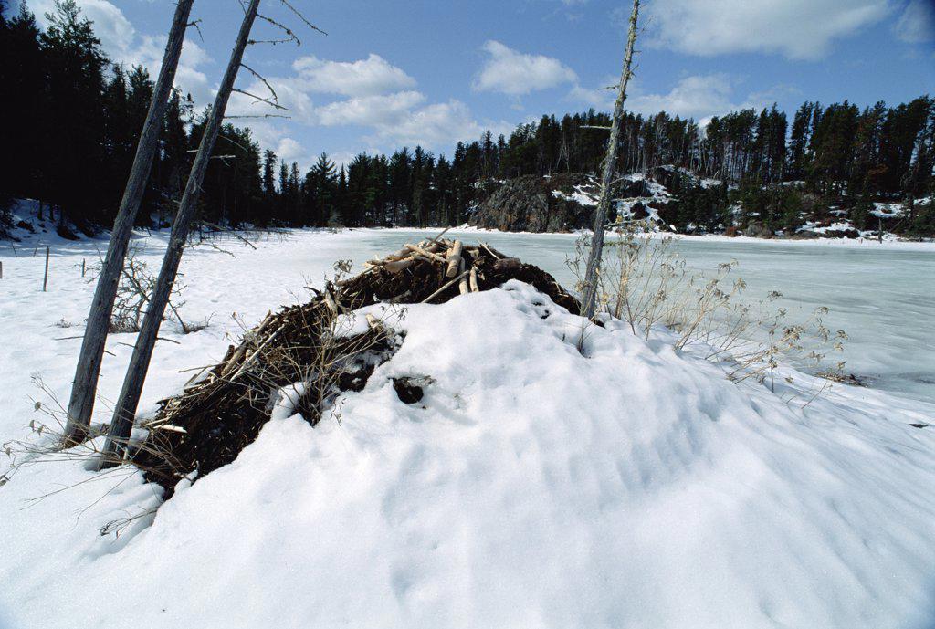 American Beaver (Castor canadensis) lodge, Minnesota : Stock Photo