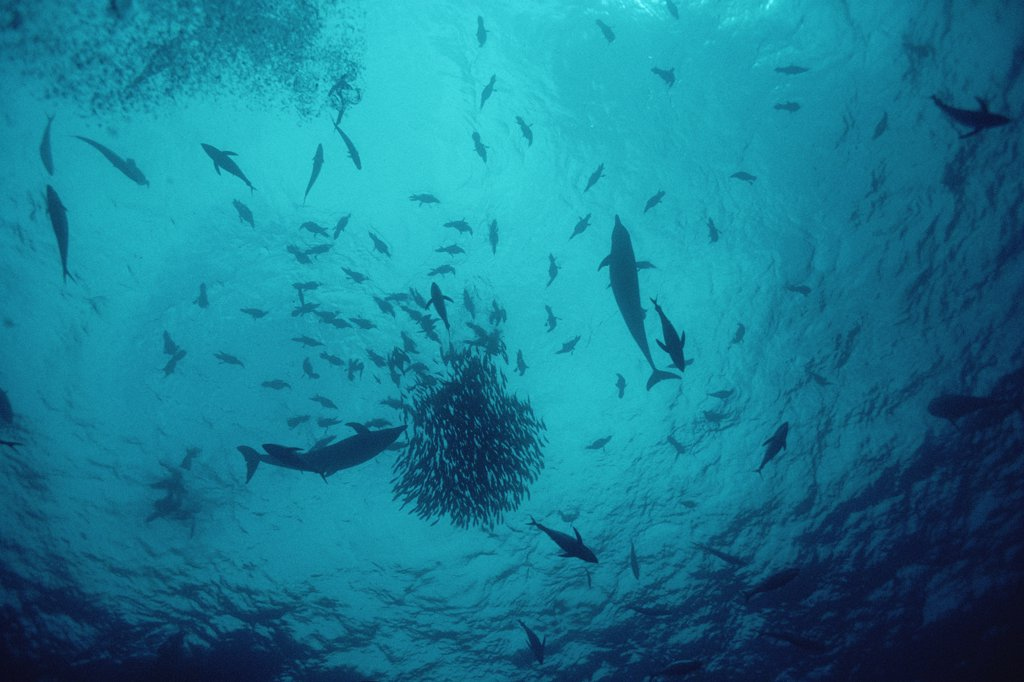 Stock Photo: 4201-13374 Life under a floating log, small fish aggregate in great numbers under ocean debris creating feeding opportunities for Tuna (Scombridae) and Dolphins with birds feeding on the school from above, Cocos Island, Costa Rica