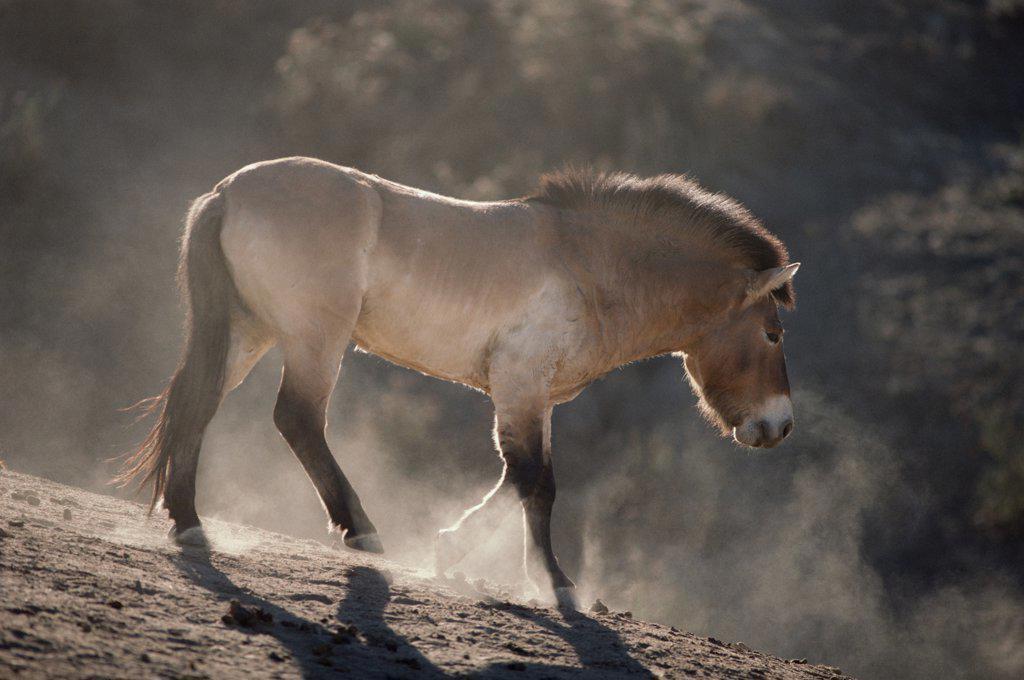Przewalski's Horse (Equus caballus przewalskii) walking, San Diego Zoo, California : Stock Photo
