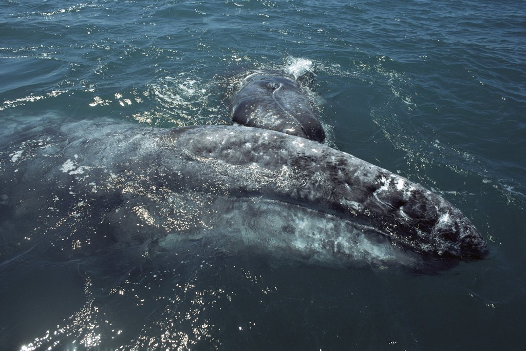 Gray Whale (Eschrichtius robustus) calf playfully nudging its mother's head, Baja California, Mexico : Stock Photo