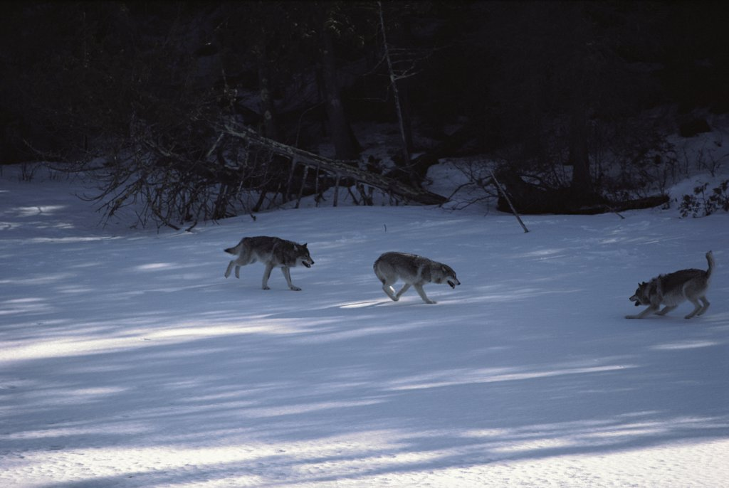 Stock Photo: 4201-14049 Timber Wolf (Canis lupus) trio playing in snow, Minnesota