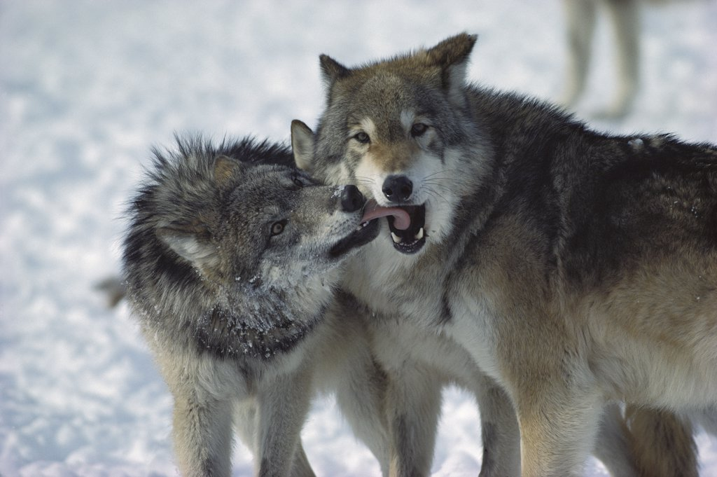 Timber Wolf (Canis lupus) submissive individual showing affection toward dominant male, Minnesota : Stock Photo
