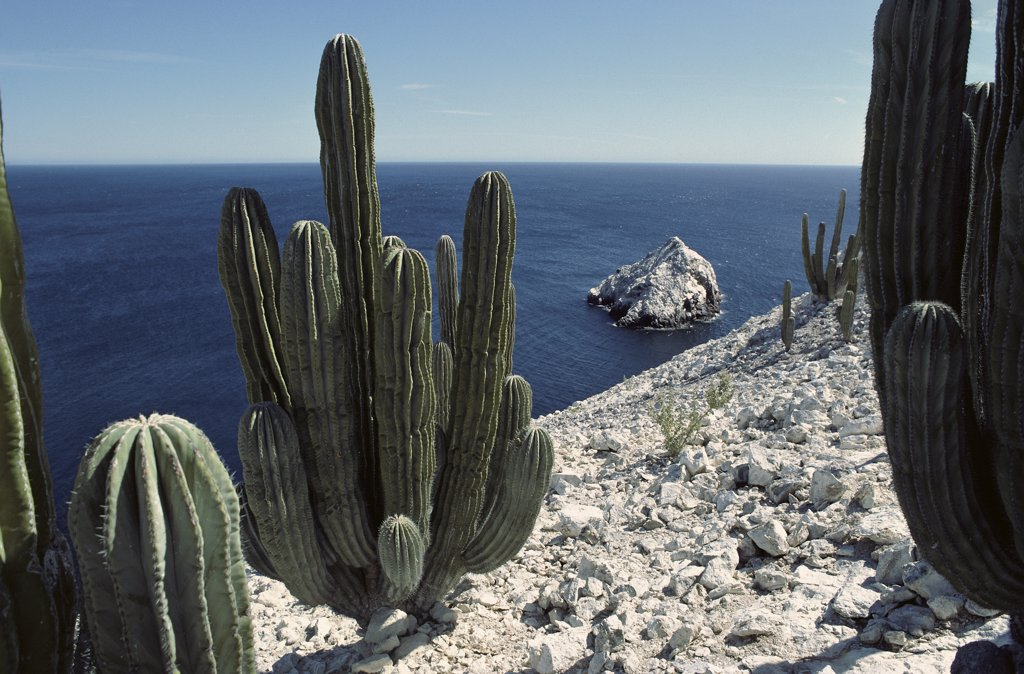 Cardon (Pachycereus pringlei) cactus growing on the cliffs, Isla San Pedro Martir, Sea of Cortez, Baja California, Mexico : Stock Photo