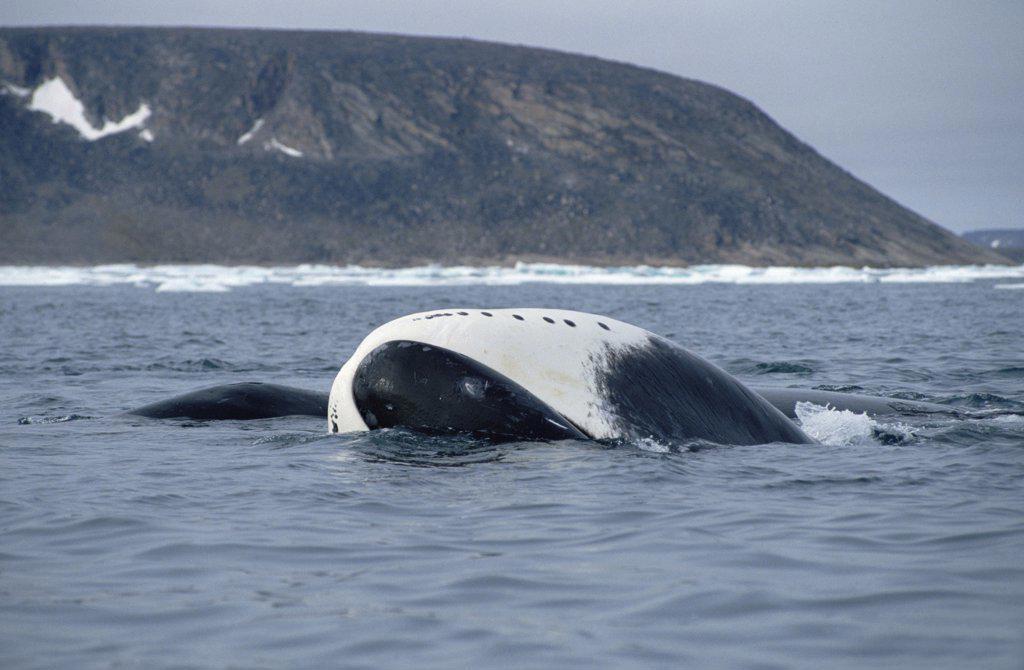 Bowhead Whale (Balaena mysticetus) juvenile basking, Baffin Island, Canada : Stock Photo