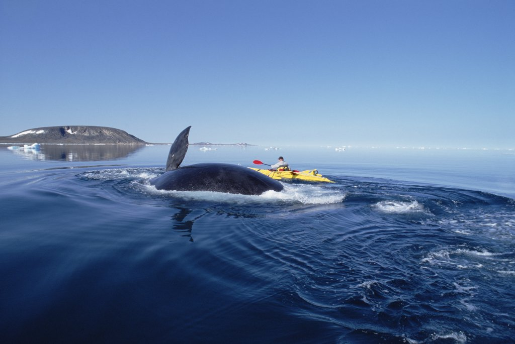 Stock Photo: 4201-14242 Bowhead Whale (Balaena mysticetus) observed by Canadian biologist Kerry Finley in kayak, Isabella Bay, Baffin Island, Canada