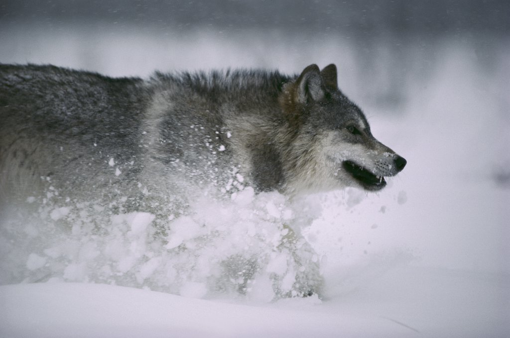 Timber Wolf (Canis lupus) running in snow, Minnesota : Stock Photo