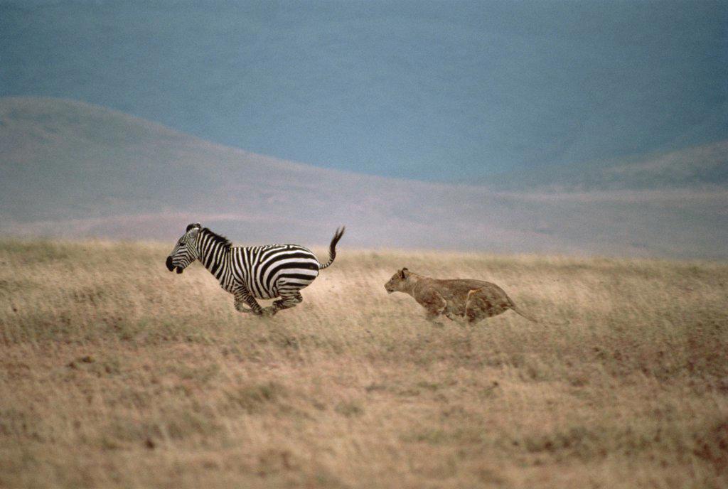 Stock Photo: 4201-14338 African Lion (Panthera leo) female chasing Burchell's Zebra (Equus burchellii), Serengeti, Tanzania